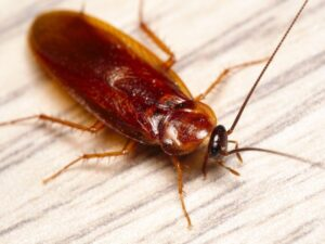 Healthy Home Diagnostics American Cockroaches Services Deerfield Beach